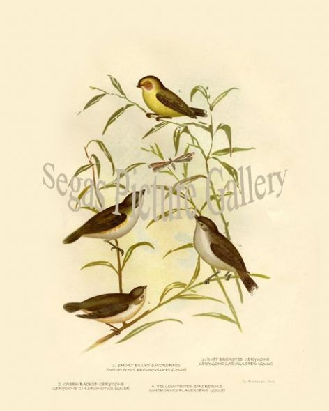 Fine art print of the  Short Billed Smicrornis (Smicrornis Brevirostris (Gould))  Green Backed Gerygone (Geryoone Chloronotus (Gould))  Buff Breasted Gerygone (Gerygone Laevigaster (Gould)) 4. Yellow Tinted Smicrornis (Smicrornis Flavescens (Gould)), Gracius
